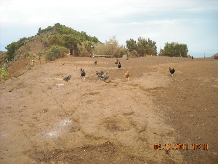 Gallinas de campo