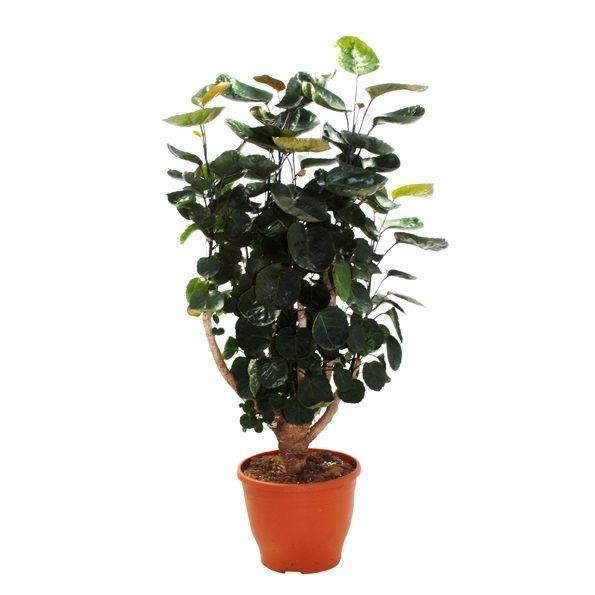 Polyscias is een sterke kamerplant. 1 keer per week een scheut handwarm water is voldoende. De plant staat graag op een plek die veel licht heeft, maar enigszins is afgeschermd van het felste zonlicht.
