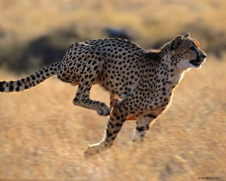 Favori 61 best Chita images on Pinterest | Big cats, Animal kingdom and  PV57