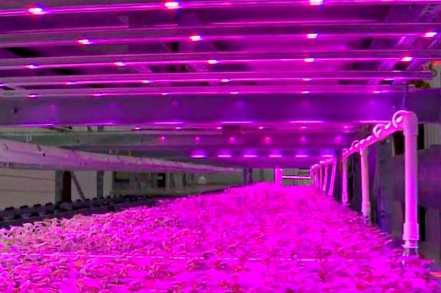 Invernaderos cerrados rosas (para ahorrar energía) Los cultivos que se realizan sin luz natural consumen mucha energía y tienen un elevado impacto ambiental. Los invernaderos de estas imágenes están diseñados para reducir el consumo energético.