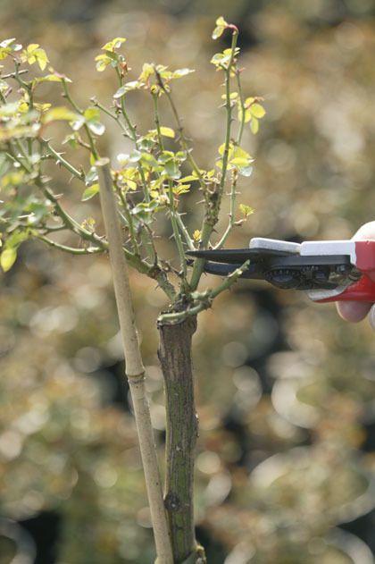 Rozen snoeien / Pruning roses - tuinieren.nl