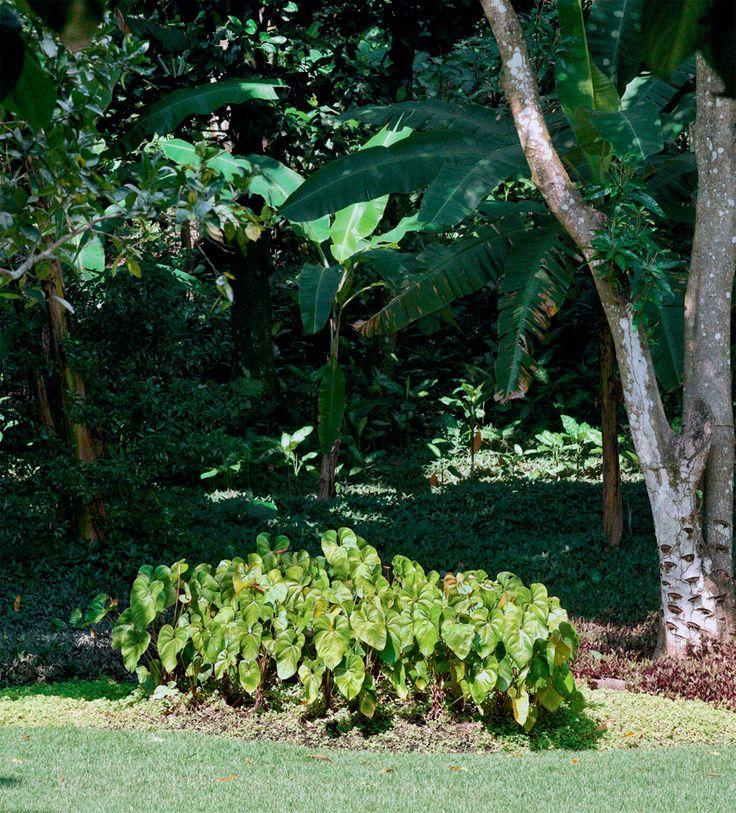"""Jardim para três casas com espécies tropicais - Casa. Depois de colhido o cacho, o pseudocaule da bananeira (Musa paradisiaca) morre, dando vida a outro. Este agrupamento de antúrios (Anthurium andraeanum) será mudado de lugar. """"A planta é de meia sombra, e, no local, bate muito sol"""", diz Tania Manela Kurc."""