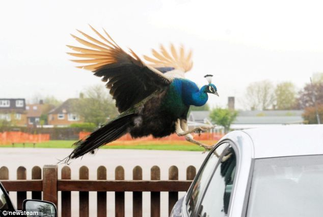 Bill: The bird flew around the unsuspecting teachers' cars before darting around the school's playing fieldsFunny Pics, Attack Cars, Schools, Indian Peafowl, Farms Parks, Birds Flew, Ackward Moments, Essential Nature, Cars Parks