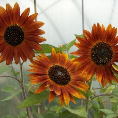 Sunflower - Earthwalker - Hawthorn Farm Organic Seeds