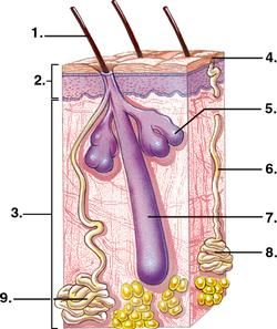 the integumentary system lab The integumentary system comprises the skin and its appendages acting to protect the body from various kinds of damage, such as loss of water or abrasion from outside the integumentary.