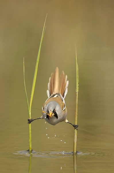 Credit: Edwin Kats/Rex Features A male bearded reedling catches a cranefly.
