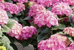 Podar las hortensias no tiene mucha ciencia. Sin embargo ¿sabes que las hortensias de color azul o rosa, se podan de diferente forma que las hortensias blancas? Para conocer más detalles de la poda de hortensias, te invitamos a leer éste artículo. Poda de hortensias de color rosa, p