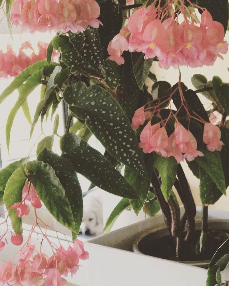 """🌸 LA TAMAYA 🌸. . 👆Es la planta de la belleza, todo el año te da estas 🌸🌸🌸🌸 tan bonitas. ✌️Original de México, con fortaleza y fluir🎋 del bambú. 🐶En la foto se a colado mi perrita 🐶 """"BABY"""". - 🔍 ENCUÉNTRALA 🔎 😃. #amor #restauracion #publicidad #marca #marketing #home #homestaging #homestanding #diseño #bellezza #carmengarrido #plantas #flores #rosa #fluir🍃 #fengshuidecoración #mexico #bambu #perros #labrador #espejo #inmobiliaria #fotografia #verde #"""