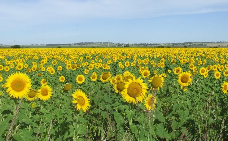 Sunflowers...sunflower route that goes from Warwick through Allora and beyond our darling downs ITS SUCH A SUNNY SIGHT