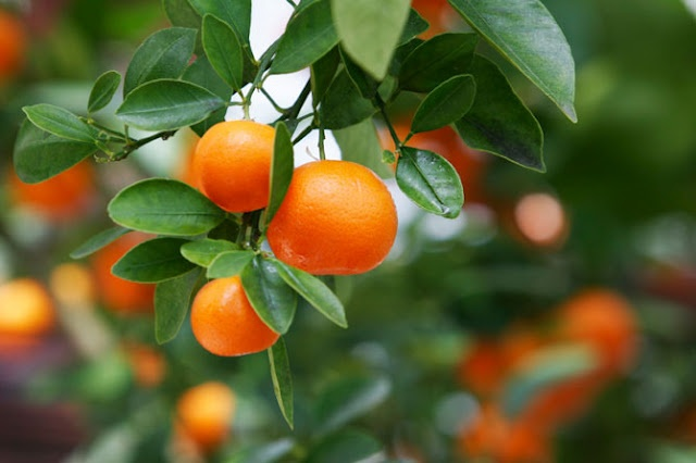 forbidden fruit pruning fruit trees