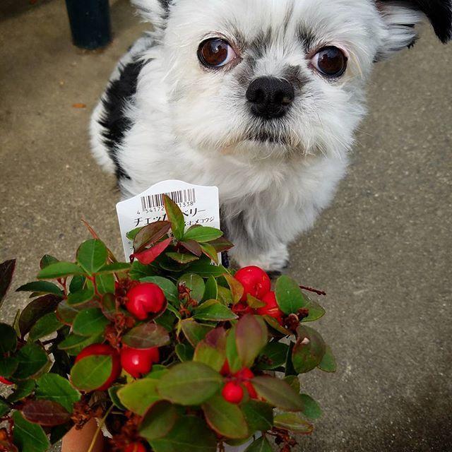 チェッカーベリー ホムセに寄ったら半額だった(*ˊ˘ˋ*)。♪:*°るんるん🎶✨ 連れて帰って来ちゃったv( ̄∇ ̄)ニヤッ  #可愛い我が子とお買い物 #ニヤニヤが止まらない #嬉しくてたまらない #ホムセ長居して楽しい時間 #しがトコ  #植物と暮らす  #植物にに触れる #植物のある暮らし  #お花屋さん  #大好きな園芸店 #植物 #愛犬 #愛猫 #lovepet #lovedog #petdog #lovecat #petcat #pet#mypet  #prince #プリンス #プリンセス #princess #花が好き #花が好きな人と繋がりたい #写真好きな人と繋がりたい #ファインダー越しの私の世界