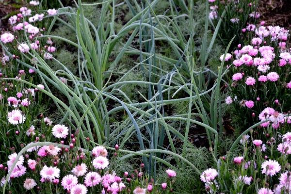 Onion, leek and cornflower 'Tom Pouce Pink'. #kitchengarden #growfood #garden #gardening #potager #vegetables