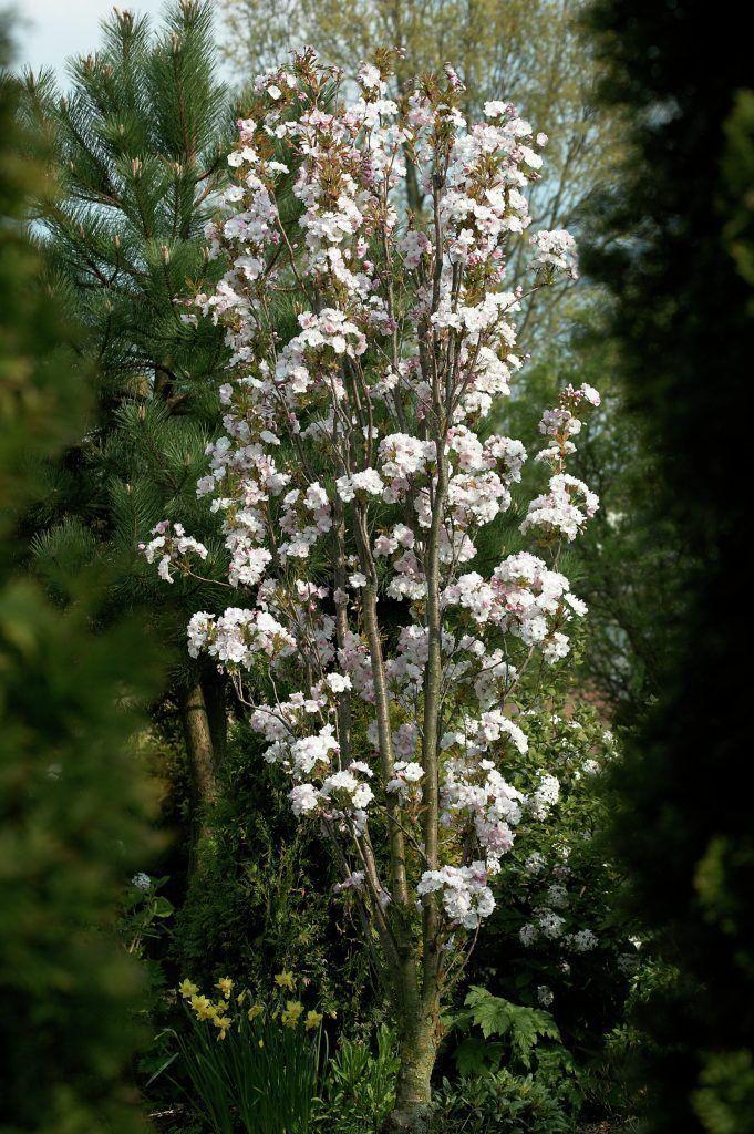 Japanische Blütenkirsche 'Amanogawa' • Prunus serrulata 'Amanogawa' • Orientalische Kirsche 'Amanogawa' • Ostasiatische Kirsche 'Amanogawa' • Pflanzen & Blumen • 99Roots.com