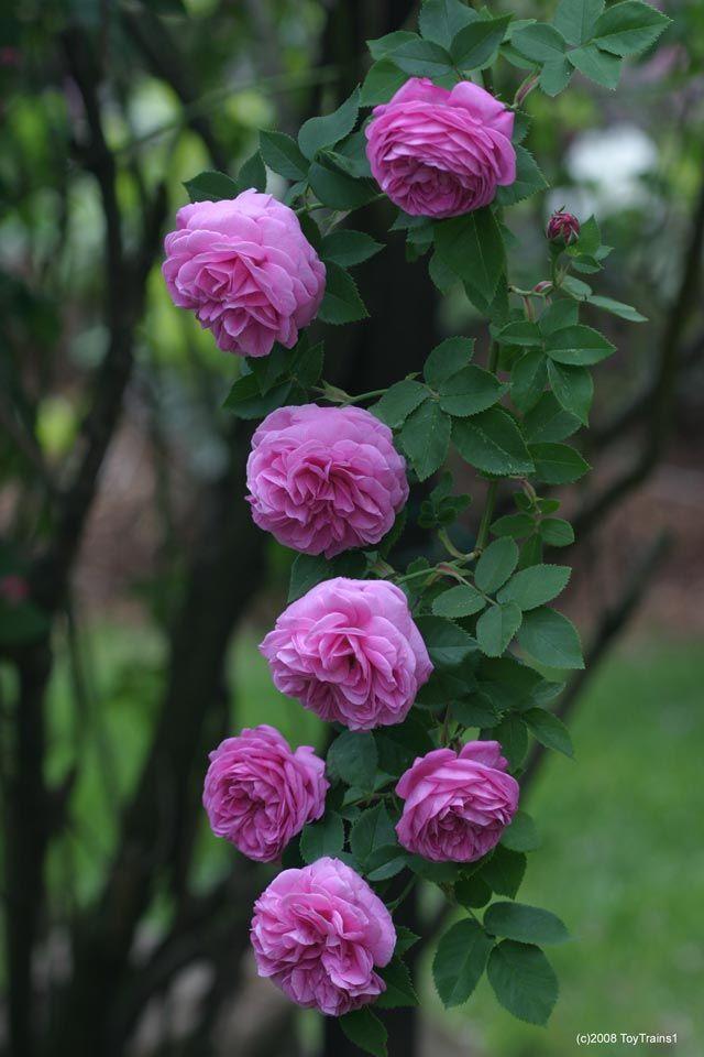27 best louise odier rose images on pinterest english. Black Bedroom Furniture Sets. Home Design Ideas