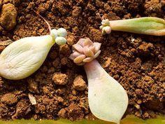 Les plantes grasses ont développé des moyens de résister à la sécheresse et de bouturage permettant une multiplication plus aisée.