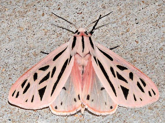 moth, illustration, pink, nature, colour, butterfly ...
