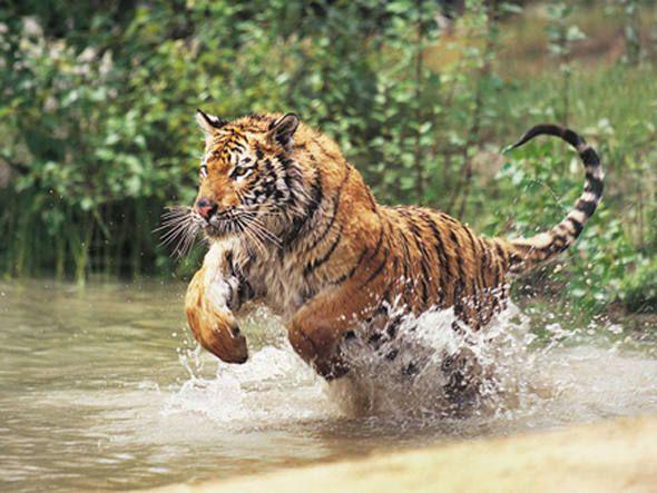 Tigre de bengala correndo na água