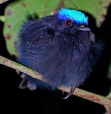 Lepidothrix coronata 1.jpg