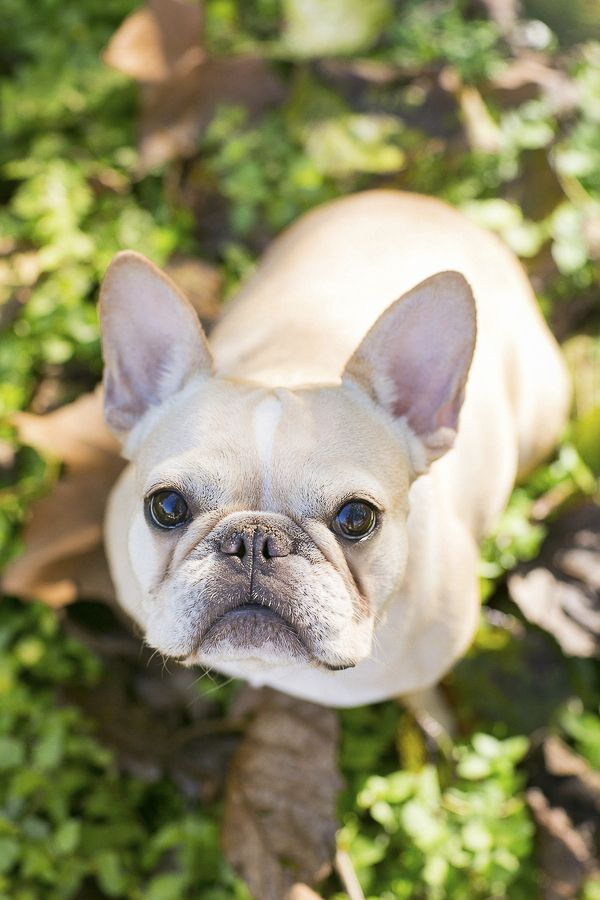 Paige, the French Bulldog,