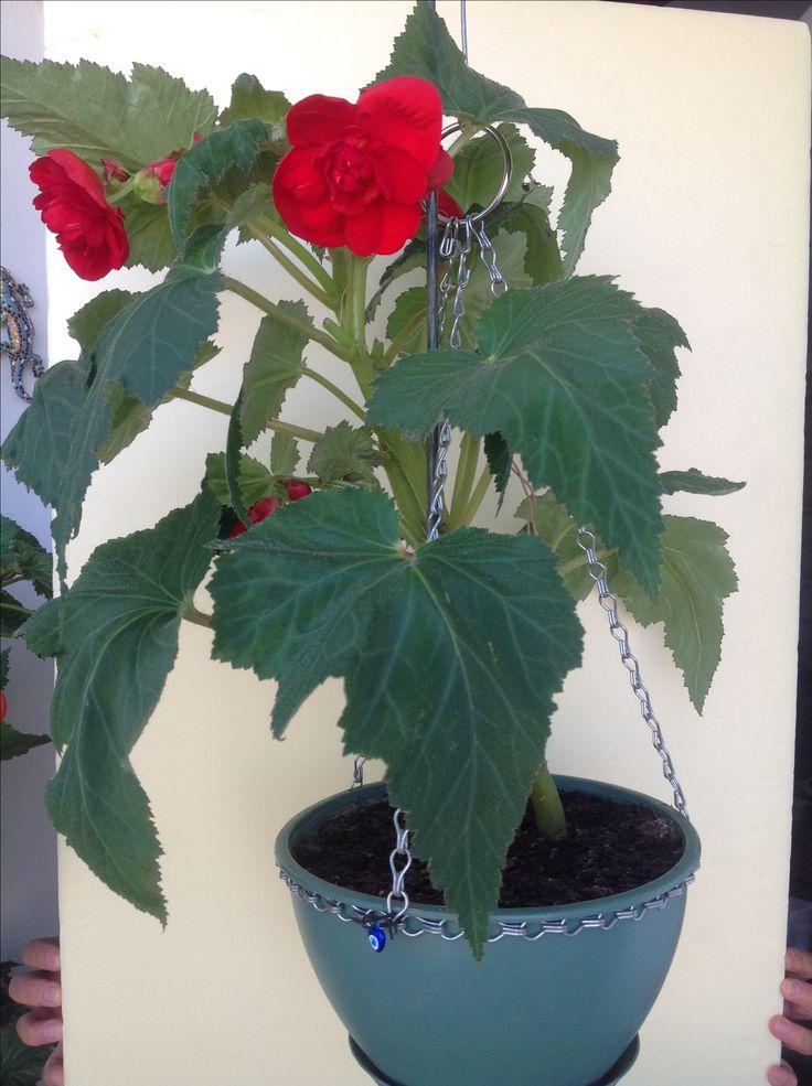 Begonia double (kırmızı katlı begonya )