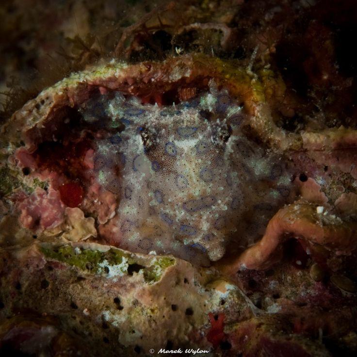 Blue-ringed octopus | Raja Ampat | 2009.10.24  Title: Blue-ringed octopus Location: Raja Ampat Camera: NIKON D300 Lens: AF-S Micro Nikkor 60mm f/2.8G ED Settings: 1/250 f/20 ISO200 Housing: Subal ND300 Strobes: 2 x Subtronic Pro270  http://marek.wylon.com