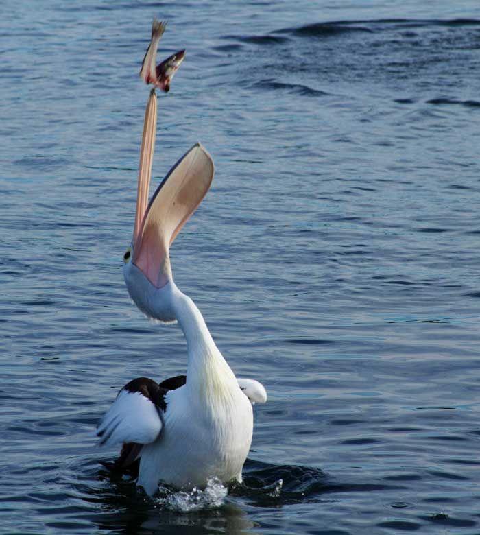 Pellicano Bianco cattura un pesce (Pelecanus onocrotalus) #AnimaliVolanti #Pellicano
