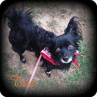 Denver, NC - Pomeranian/Chihuahua Mix. Meet Taz, a dog for adoption. http://www.adoptapet.com/pet/13360239-denver-north-carolina-pomeranian-mix