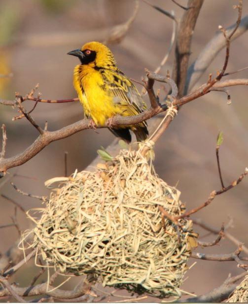 Bontrugwewer (Village Weaver) Mabalingwe, Bela Bela, South Africa