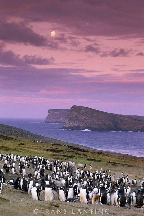Gentoo penguin colony at twilight, Pygoscelis papua, Falkland Islands