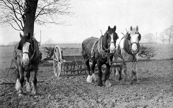 1958. Wolstencfroft Farm, near Lymm, Cheshire. A rare photograph, to see 3 Heavy Horses to still be working in 1958. Believe me, Ted Motler