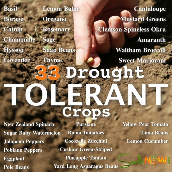 33 Drought Tolerant Crops For Dry or Hot Climates