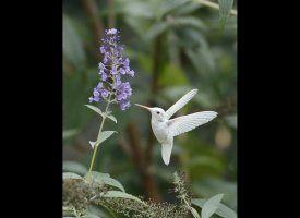 Albino hummingbird - like a tiny peace dove.Albino Ruby'S Thro, Peace Dove, White Hummingbirds, Hum Birds, Ruby'S Thro Hummingbirds, Tiny Peace, Ruby Thro Hummingbirds, Gardens Stuff, Albino Hummingbirds