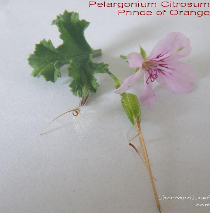 Pelargonium Citrosum, Prince of Orange
