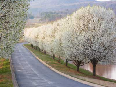 Line my driveway with Bradford Pear trees