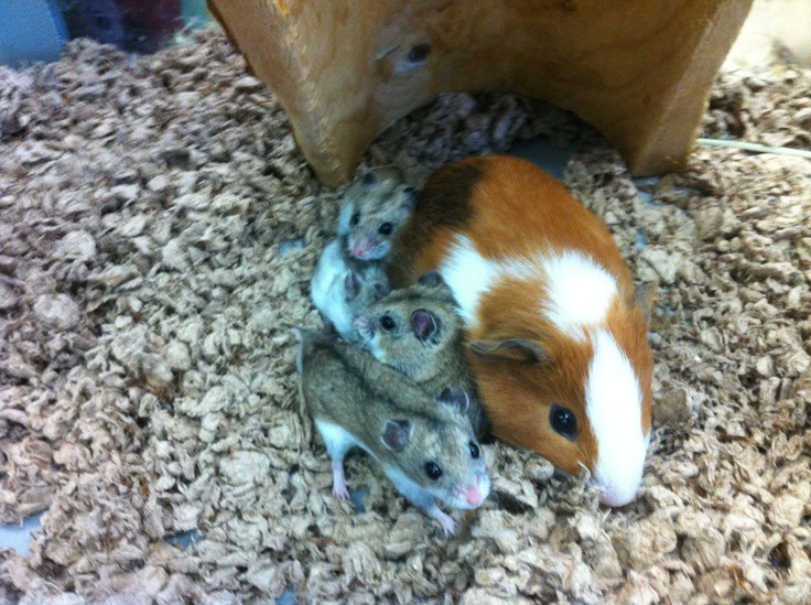 guinea pigs Midget