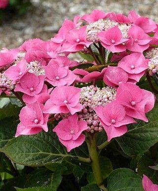 "Hydrangea macrophylla ""TAUBE"" Teller Pink - lace-cap hydrangea"
