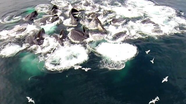 Large Group of Humpback Whales Feeding in the Pristine Waters of Alaska. Aerial Drone Footage from  Seagulls Point of View. Checkout our other videos on YouTube.  https://www.youtube.com/user/AkxPro  Hope you Enjoy.  #traveltoalaska #enjoynature