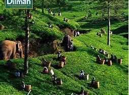 MJF Group Sri Lanka - Tea, tea pluckers and elephants in Sri Lanka.  www.dilmahtea.com