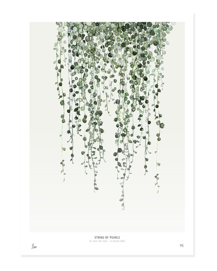 Small String Of Pearls Botanic Print: String of Pearls is a popular part of the Botanics series of unframed art prints of watercolours by artist Maaike Koster and supplied by My Deer Art of the Netherlands.  Limited edition of 500, signed by artist with handwritten numbering.