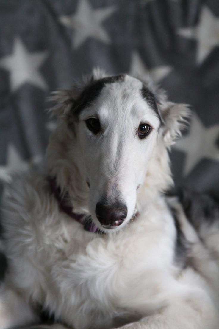 Borzoi puppy- GO GO BOLSHOI CHA-CHA-CHA