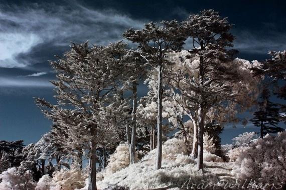 Juniper Hill - Infrared Photograph