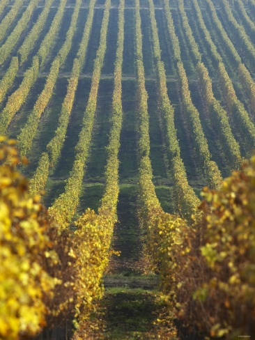 Vineyard of Oremus Winery, Tolcsva, Hungary. Photo: Herbert Lehmann