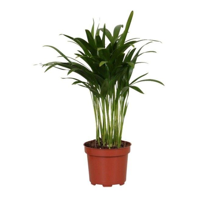 Areca catechu D12 35-40 cm mix - Zielone - Rośliny domowe - Rośliny i materiały siewne - Ogród