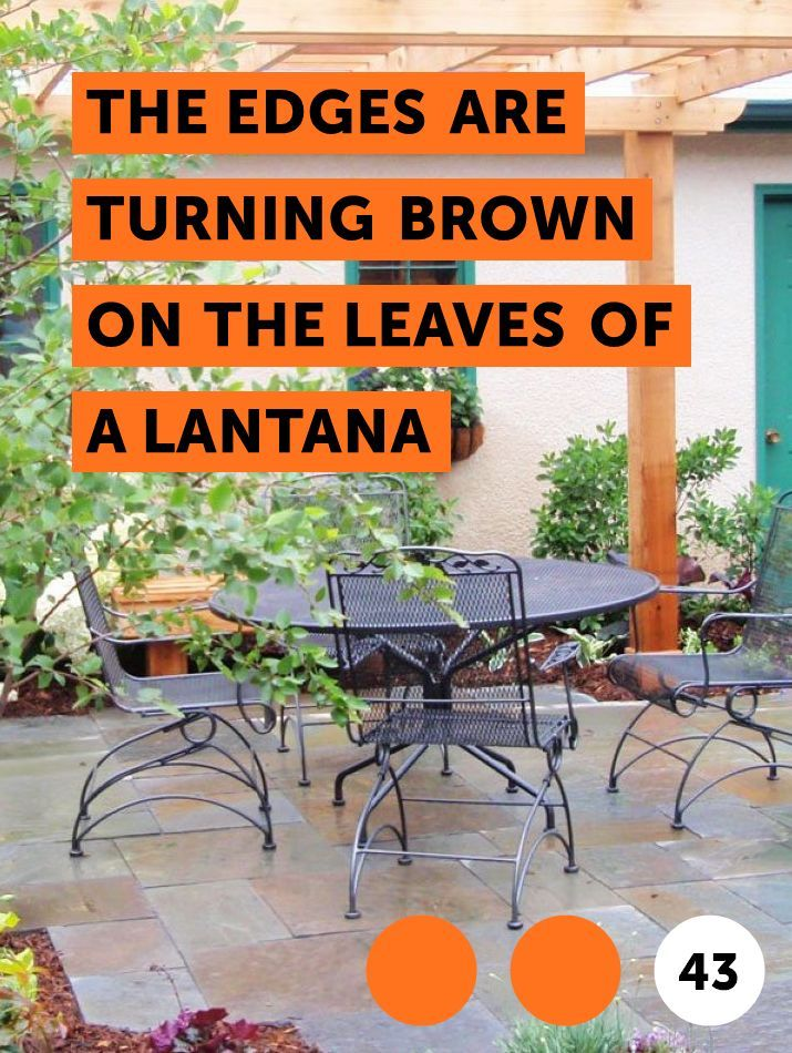 Learn The Edges Are Turning Brown On The Leaves Of A Lantana How To Guides Tips And Tricks Plants Bamboo Plants Growing Bamboo