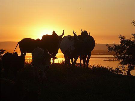 Les zébus de Madagascar qui regardent un couché de soleil ;)
