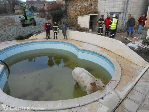 Insolite : une vache passe la nuit dans leur piscine http://www.sudouest.fr/2015/01/18/insolite-une-vache-passe-la-nuit-dans-leur-piscine-1800979-4776.php…