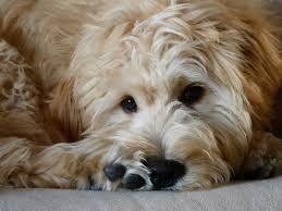 Image result for goldendoodle