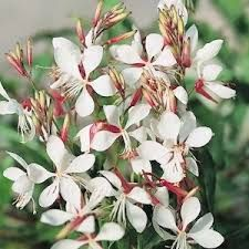 Image result for gaura flower