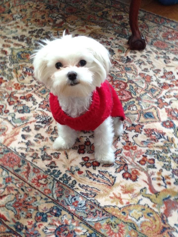 Pin By Dayna Carr On Maltese Puppies Teacup Puppies Maltese