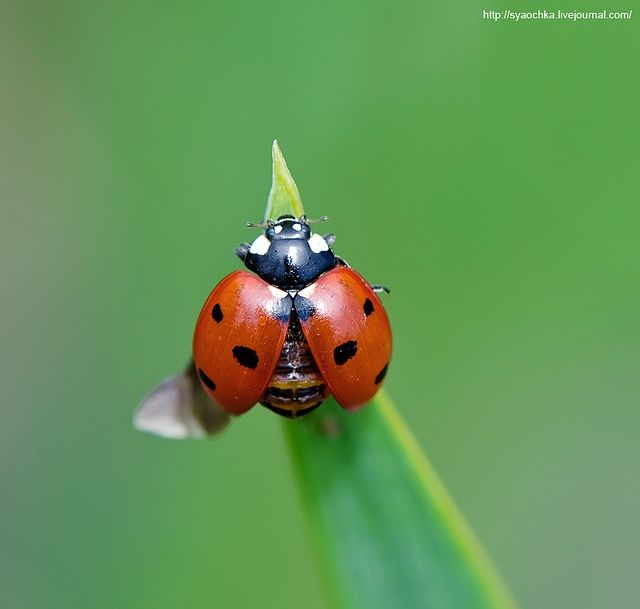 ladybirds open wings - Google Search
